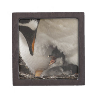 Gentoo Penguin (Pygoscelis papua) on nest with Jewelry Box