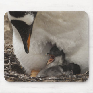 Gentoo Penguin (Pygoscelis papua) on nest with Mouse Pad