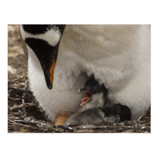 Gentoo Penguin (Pygoscelis papua) on nest with Postcard