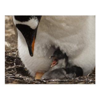 Gentoo Penguin (Pygoscelis papua) on nest with Postcard