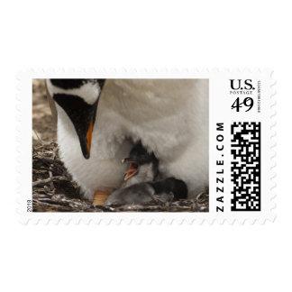 Gentoo Penguin (Pygoscelis papua) on nest with Stamp