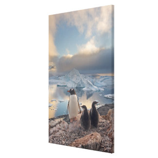 gentoo penguin, Pygoscelis Papua, parent with 2 Canvas Print