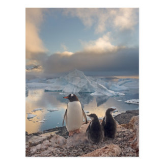 gentoo penguin, Pygoscelis Papua, parent with 2 Postcard