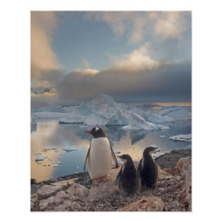 gentoo penguin, Pygoscelis Papua, parent with 2 Poster