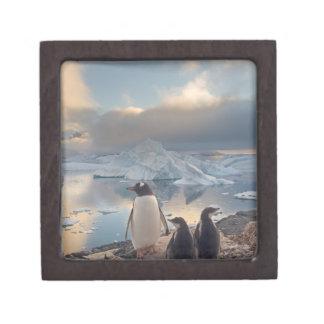 gentoo penguin, Pygoscelis Papua, parent with 2 Premium Trinket Box