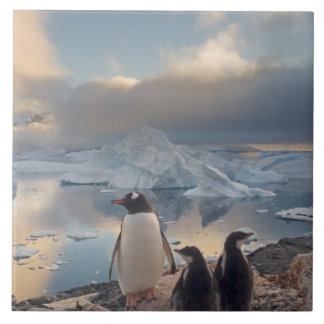 gentoo penguin, Pygoscelis Papua, parent with 2 Tile