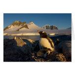 gentoo penguin, Pygoscelis Papua, parent with Greeting Card