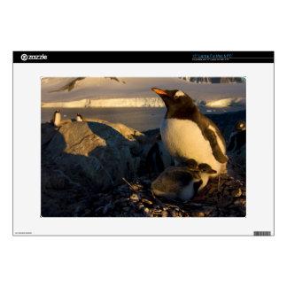 gentoo penguin, Pygoscelis Papua, parent with Laptop Decals