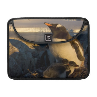 gentoo penguin, Pygoscelis Papua, parent with MacBook Pro Sleeve