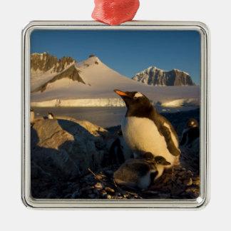 gentoo penguin, Pygoscelis Papua, parent with Metal Ornament