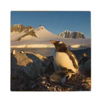 gentoo penguin, Pygoscelis Papua, parent with Wood Coaster
