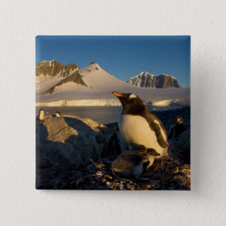 gentoo penguin, Pygoscelis Papua, parent with Pinback Button