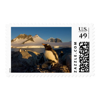 gentoo penguin, Pygoscelis Papua, parent with Postage Stamp