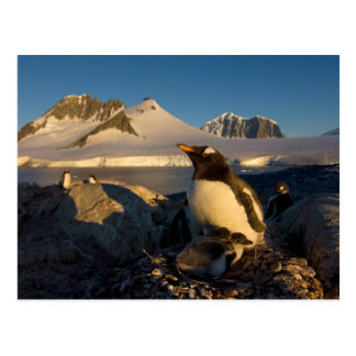 gentoo penguin, Pygoscelis Papua, parent with Postcard