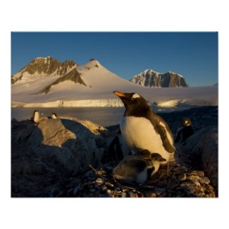 gentoo penguin, Pygoscelis Papua, parent with Posters