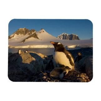 gentoo penguin, Pygoscelis Papua, parent with Rectangular Photo Magnet