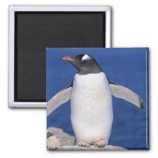 Gentoo Penguin Pygoscelis papua) Port Magnet