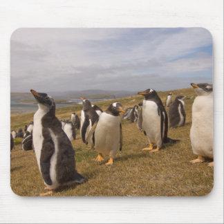 gentoo penguin, Pygoscelis papua, rookery on Mouse Pad