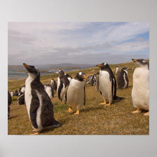 gentoo penguin, Pygoscelis papua, rookery on Poster