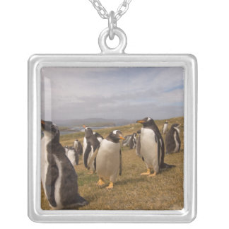 gentoo penguin, Pygoscelis papua, rookery on Silver Plated Necklace