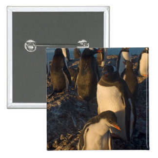 gentoo penguin, Pygoscelis papua, rookery on the 2 Inch Square Button