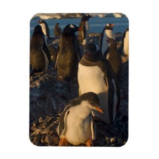 gentoo penguin, Pygoscelis papua, rookery on the Magnet