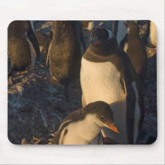 gentoo penguin, Pygoscelis papua, rookery on the Mouse Pad