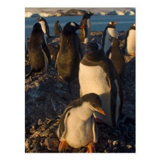 gentoo penguin, Pygoscelis papua, rookery on the Postcard