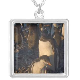 gentoo penguin, Pygoscelis papua, rookery on the Silver Plated Necklace