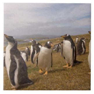 gentoo penguin, Pygoscelis papua, rookery on Tile