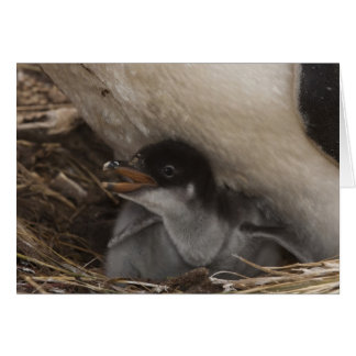 Gentoo Penguin (Pygoscelis papua) with chick, 2 Card