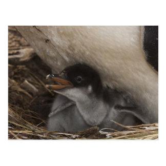 Gentoo Penguin (Pygoscelis papua) with chick, 2 Postcard
