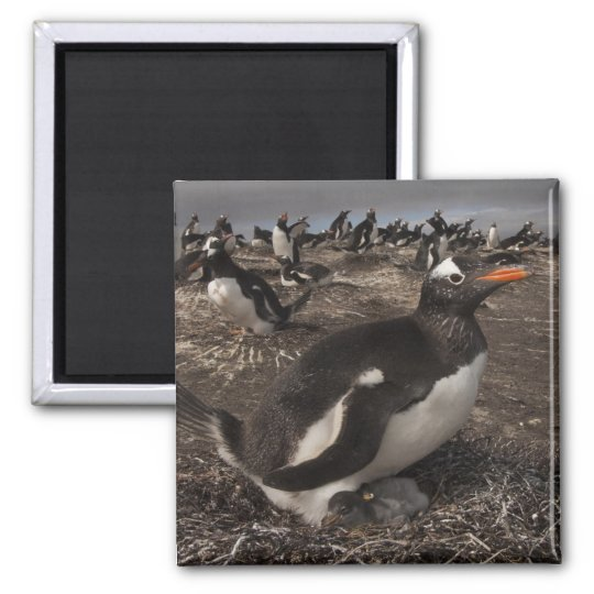 Gentoo Penguin (Pygoscelis papua) with chick on 2 Inch Square Magnet