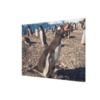 gentoo penguin, Pygoscelis papua, with chick on Canvas Print