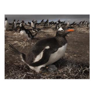 Gentoo Penguin (Pygoscelis papua) with chick on Postcard