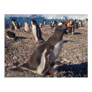 gentoo penguin, Pygoscelis papua, with chick on Postcard