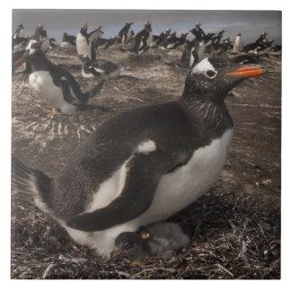 Gentoo Penguin (Pygoscelis papua) with chick on Tile