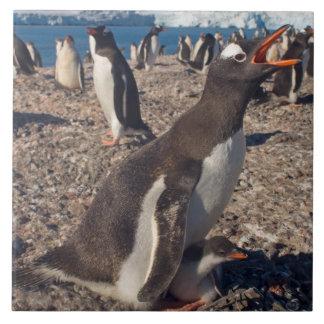 gentoo penguin, Pygoscelis papua, with chick on Tile
