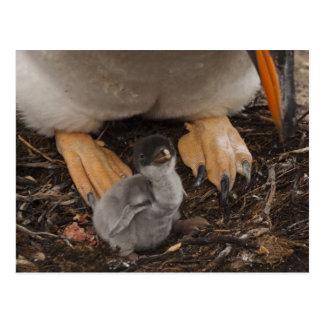Gentoo Penguin (Pygoscelis papua) with chick, Postcard