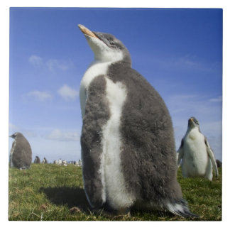 Gentoo Penguin, Pygoscelis papua, with fuzzy Ceramic Tile
