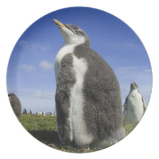 Gentoo Penguin, Pygoscelis papua, with fuzzy Melamine Plate