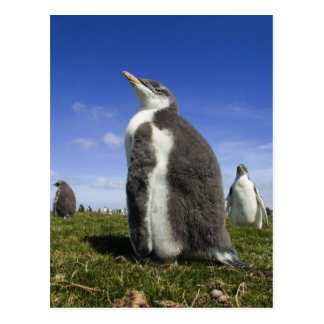 Gentoo Penguin, Pygoscelis papua, with fuzzy Postcard