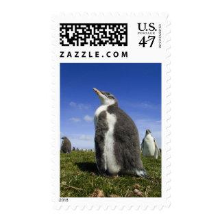 Gentoo Penguin, Pygoscelis papua, with fuzzy Stamp