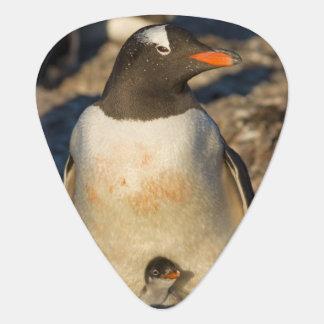 gentoo penguin, Pygoscelis papua, with newborn Guitar Pick