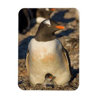 gentoo penguin, Pygoscelis papua, with newborn Magnet