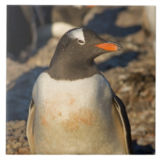gentoo penguin, Pygoscelis papua, with newborn Tile