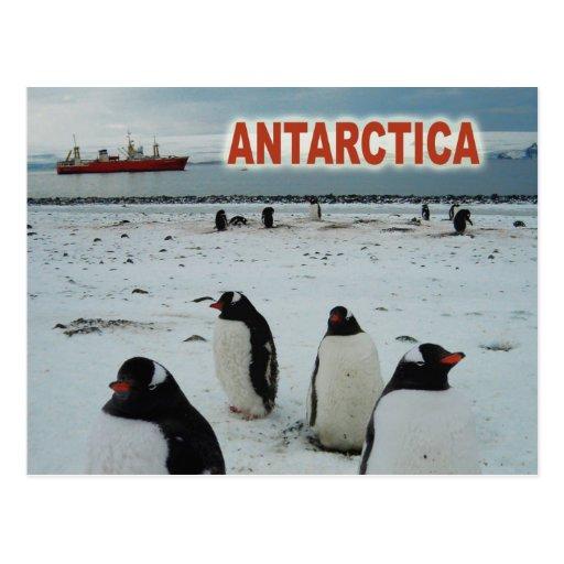 Gentoo Penguins, Antarctic Peninsula Post Card