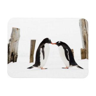 Gentoo penguins kissing magnet