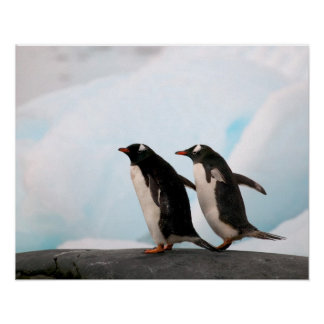 Gentoo penguins on rocky shoreline with backdrop 2 print