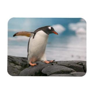 Gentoo penguins on rocky shoreline with backdrop 3 magnet